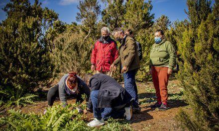 El Ayuntamiento planta dos centenares de fayas en Mesa Mota para impulsar la recuperación del ecosistema natural